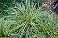 Evergold Sedge Carex oshimensis 'Evergold' Plant 3008px.JPG