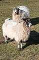 Ewe Two - geograph.org.uk - 706554.jpg