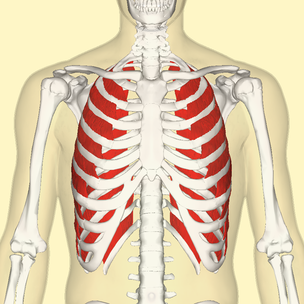 File:External intercostal muscles frontal.png - Wikimedia Commons