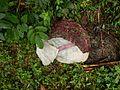 Extraction des graines de Cucumeropsis mannii (Cameroun).jpg