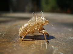 Cigale Photo cicadidae — wikipédia