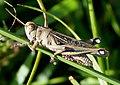 Eyprepocnemis plorans . Acrididae (32649442050).jpg