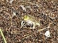 FROG, CHIRICAHUA LEOPARD (Rana chiricahuensis) (9-25-11) pena blanca lake, scc, az - 02 (6182549973).jpg
