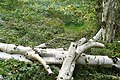 Fallen silver birch - geograph.org.uk - 975902.jpg