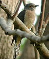 Fan-tailed Cuckoo Dayboro