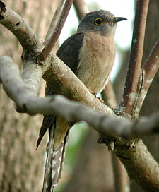 Fan-tailed Cuckoo Dayboro.JPG