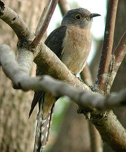 Fan-tailed Cuckoo Dayboro.JPG