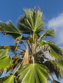 Fan Palm with nuts.jpg