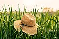 Farmer's Hat in a Cornfield (Unsplash).jpg