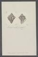 Fasciolaria cingulifera - - Print - Iconographia Zoologica - Special Collections University of Amsterdam - UBAINV0274 084 03 0010.tif
