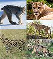 Felinae diversity 2.jpg