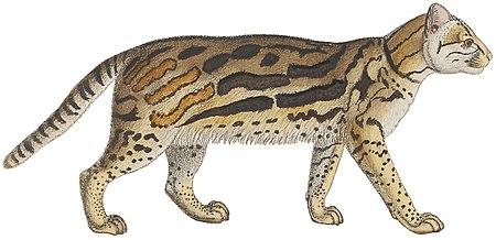Felis pardalis - 1834 - Print - Iconographia Zoologica - Special Collections University of Amsterdam -(White Background).jpg