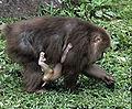 Femelle macaca thibetana avec petit.jpg