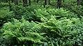 Ferns in Gullmarsskogen 2.jpg