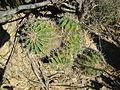 Ferocactus flavovirens (5753665879).jpg