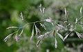 Festuca scoparia var serpentina ÖBG 2012-05-28.jpg
