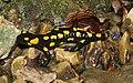 Feuersalamander-salamandra-salamandra.jpg