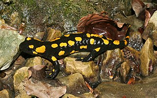 Salamandra škvrnitá (lat. Salamandra salamandra)