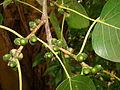 FicusReligiosa04 Asit.jpg