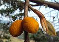 Ficus drupacea 05.JPG