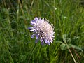 Field scabious (Knautia arvensis) at Kimberley - geograph.org.uk - 1433313.jpg