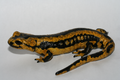 Fire salamander covered with Bsal ulcerations.PNG
