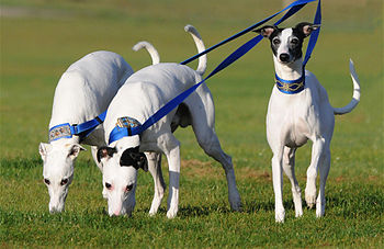 "English: ""Fireworks Whippets"" at NAW..."