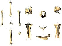 An illustration of bird bones laid out in rows
