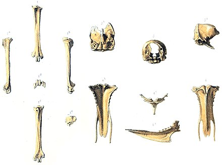 First bones described by Milne-Edwards in 1874; a tarsometatarsus (1.-1e.), a fragmentary skull (3.-3b., and a sternum (4.-4c.) First Erythromachus bones.jpg