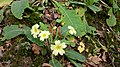 First primroses - geograph.org.uk - 1180135.jpg