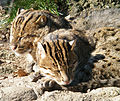 Fishing Cats at National Zoo - Stierch B.jpg
