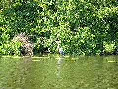 Fiskehejre 2005.jpg