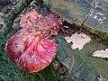 Fistulina hepatica (GB= Beefsteak polypore fungus or Ox Tongue, D= Leberreischling, or Ochsenzunge, F= Langue de bœuf, NL= Biefstukzwam), pinkish spores and causes brown rot, at NP Hoge Veluwe - panoramio (1).jpg