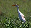 Flickr - Dario Sanches - GARÇA-VAQUEIRA ( Bubulcus ibis ).jpg