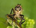 Flickr - Lukjonis - Fly predator - Asilidae.jpg