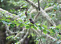 Flickr - Oregon Department of Fish & Wildlife - 2235 spotted towhee munsel odfw.jpg