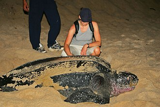 Leatherback sea turtle - Size of leatherback compared to human