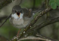 Flickr - Rainbirder - Whitethroat (Sylvia communis).jpg