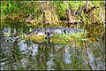 Florida alligator (8521200429).jpg