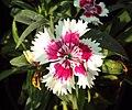 Flowers - Uncategorised Garden plants 297.JPG