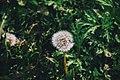 Fluffy Dandelion (Unsplash).jpg