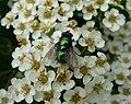 Fly (17336425041).jpg