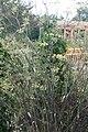 Foeniculum vulgare Purpureum 3zz.jpg