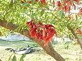 Fortín Olavarría calle Juan Bautista Alberdi al 0 - ceibo (Erythrina crista-galli) 06.JPG