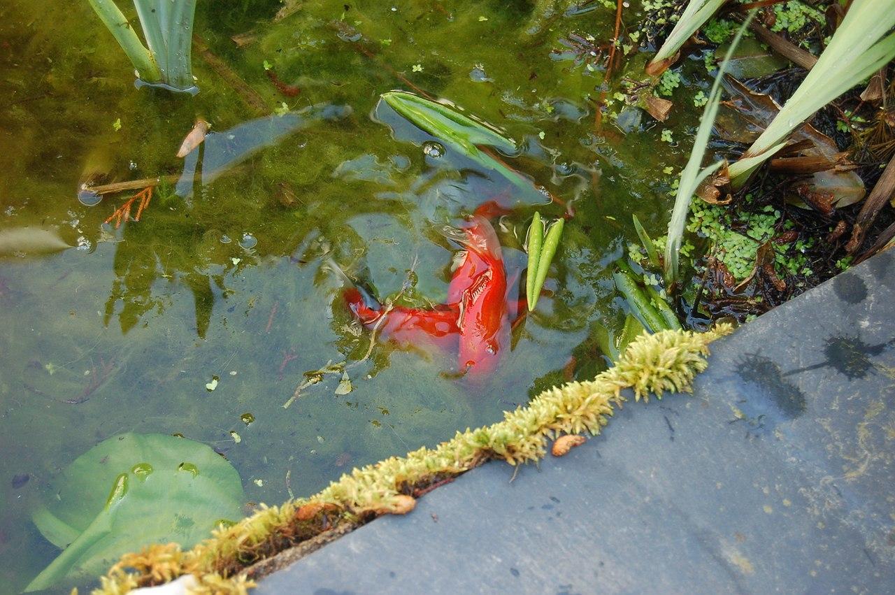 Poisson Rouge Bassin Extérieur poisson rouge - wikiwand