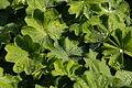 Frauenmantel (Alchemilla vulgaris) a.jpg