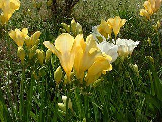 <i>Freesia</i> genus of plants