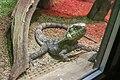 Frilled Lizard (Chlamydosaurus kingii) (CWPG) (1).jpg