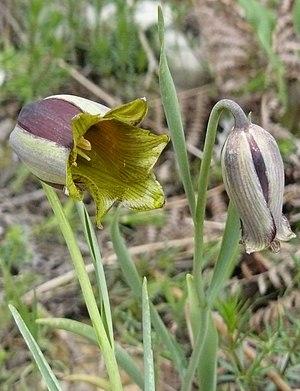 Fritillaria acmopetala - Image: Fritillaria acmopetala