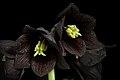 Fritillaria camschatcensis (L.) Ker Gawl., Bot. Mag. 30 t. 1216 (1809) (49974226741).jpg